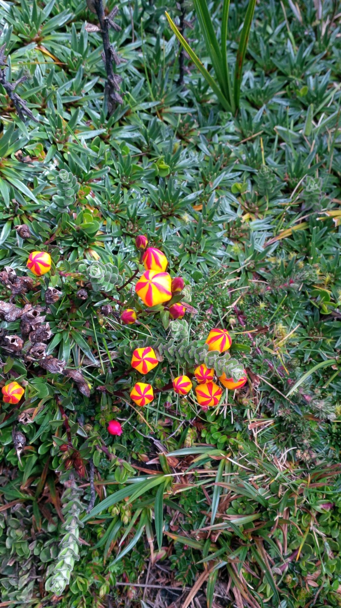 Amazing little flowers at Cajas